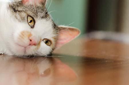 フローリングの猫