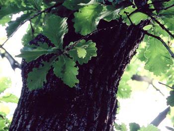 カシワの葉