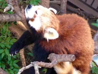楽しい夢をみるレッサーパンダ