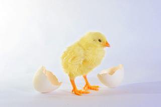 卵からかえるひよこ