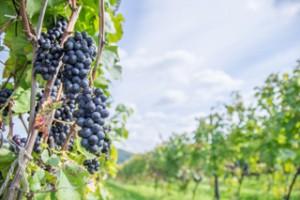 ワイン畑のぶどう
